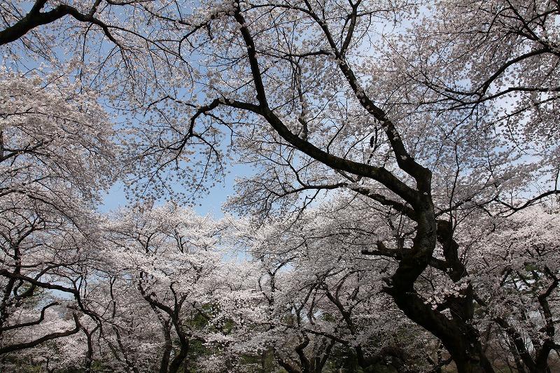 小金井桜3