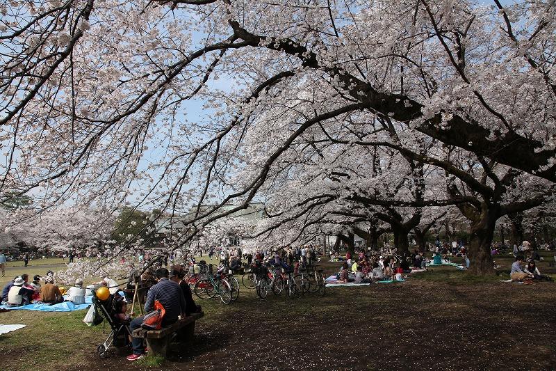 小金井桜4