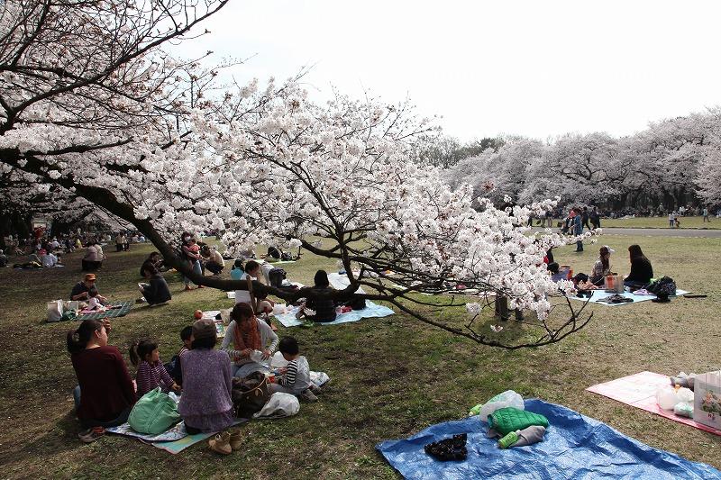 小金井桜5