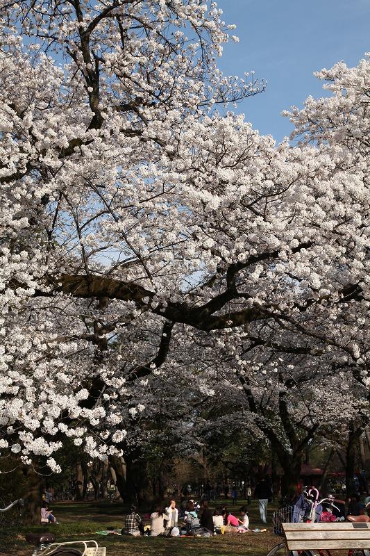 小金井桜7