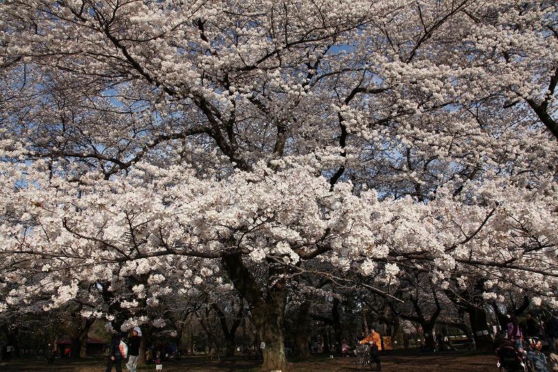 小金井桜8