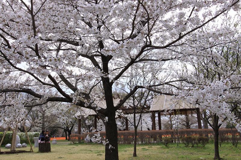 国分寺の桜3