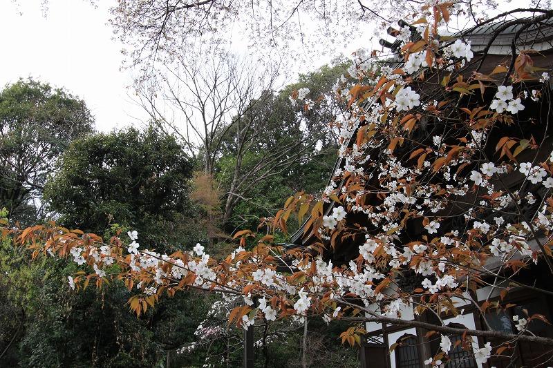国分寺の桜4
