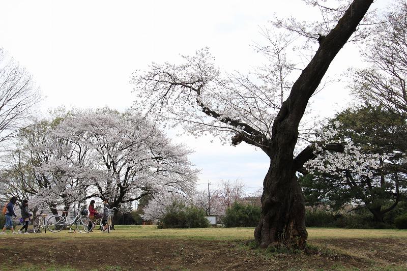 国分寺の桜5