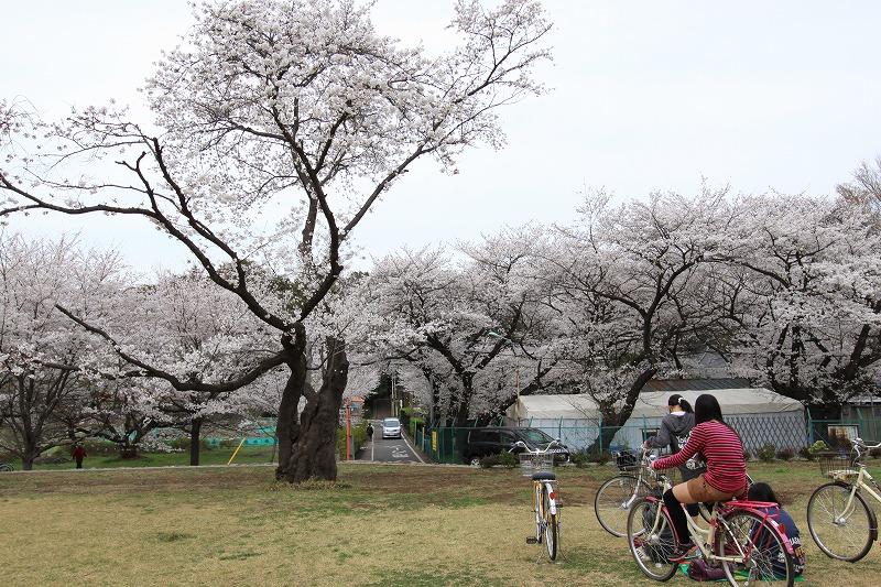 国分寺の桜6