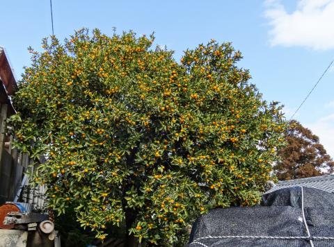 大きな金柑の木