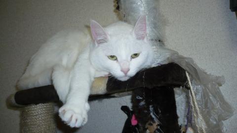 ルナ、キャットタワーの上で