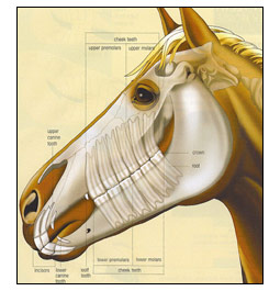horse-teeth.jpg