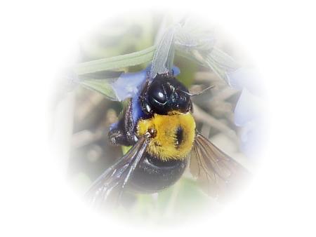 クマバチ 小