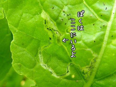 ハモグリバエ