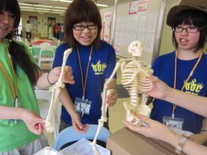 新しい骨格模型