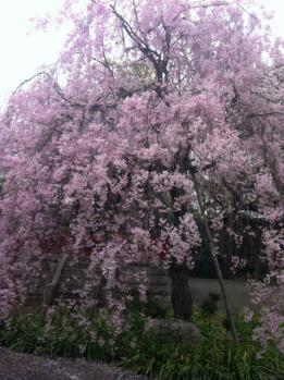 枝垂れ桜2_1