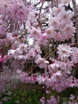 枝垂れ桜_1