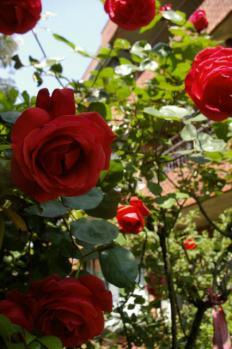 赤いバラ2_1