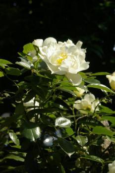 白いバラ3_1