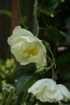白いバラ2_1