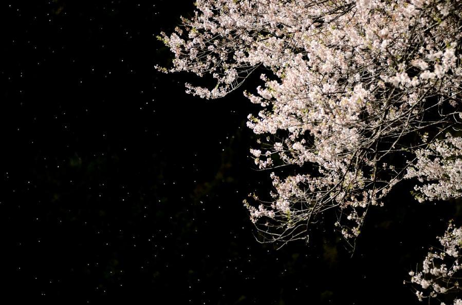 5月桜 925-2s