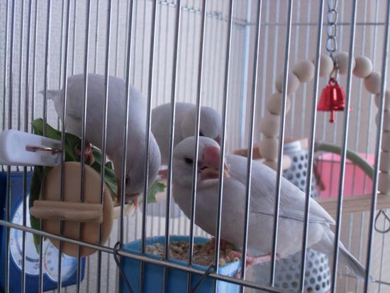 シルバー文鳥雛達