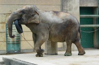東公園動物園 アジアゾウ(セイロンゾウ)