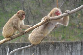 東公園動物園 ニホンザル