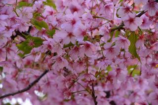柱公園 河津桜