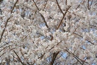 愛知環状鉄道沿いの桜