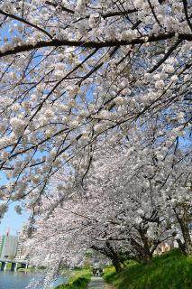 乙川(菅生川)の桜