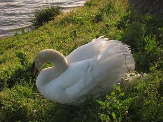 羽根大池 白鳥