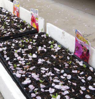 花びら種まき箱