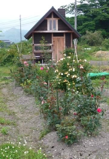 24年6月小屋前バラたち