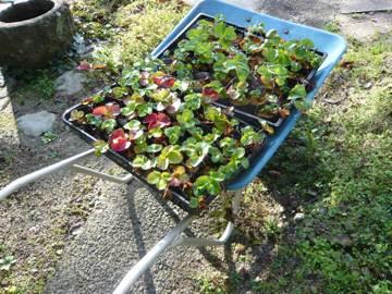 イチゴの苗を植える