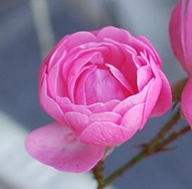 ミニバラカップ咲きピンク