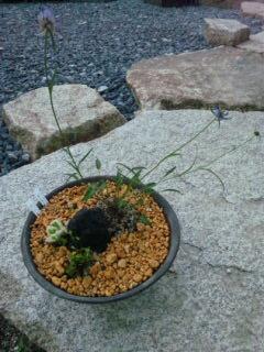 タマシャジン鉢植え