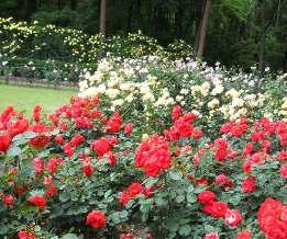 井 バラ 花壇
