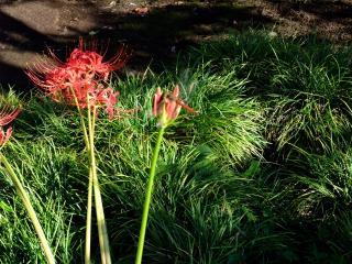 彼岸花と赤とんぼ