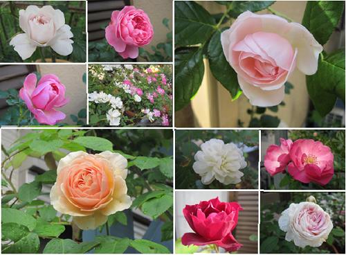 庭のバラ1-2