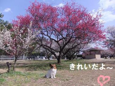 赤い梅の木