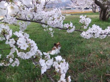 桜とラブ2