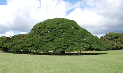日立の樹1