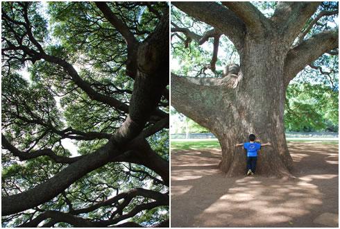 日立の樹2