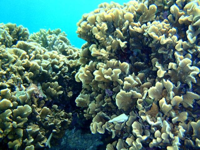 大度海岸 サンゴ