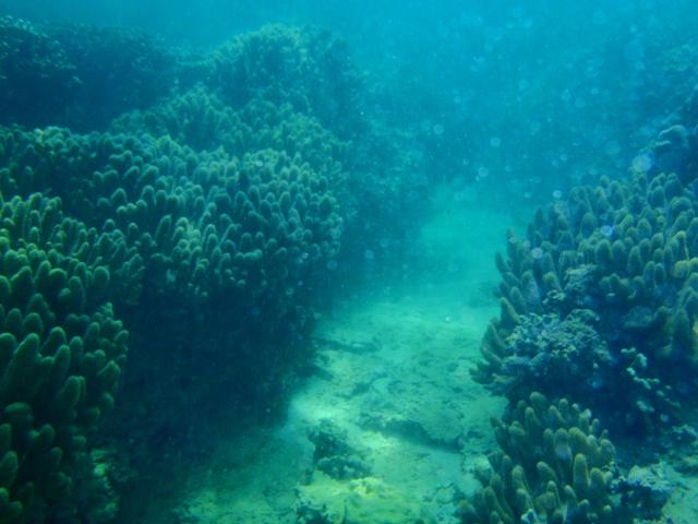 ゴリラチョップ サンゴ