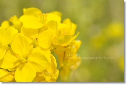 太陽が丘菜の花 008