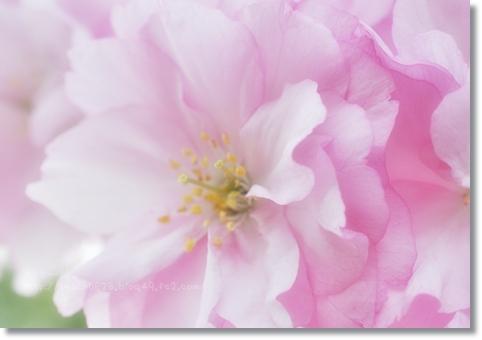 倶利伽羅八重桜まつり2013 138