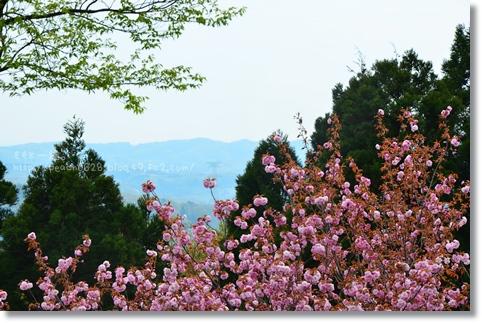 倶利伽羅八重桜まつり2013 116