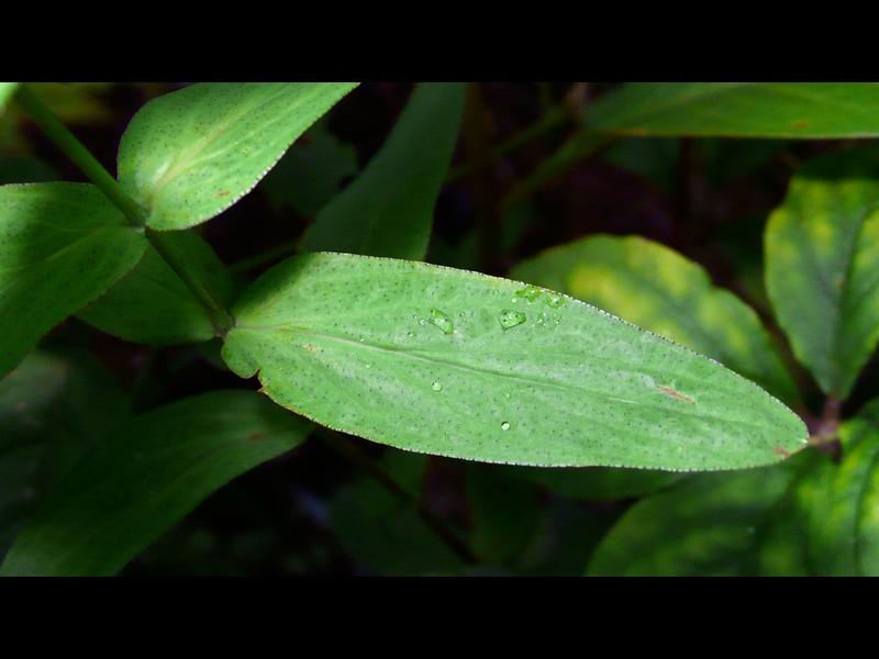 オトギリソウ 葉 縁と面に黒点あり