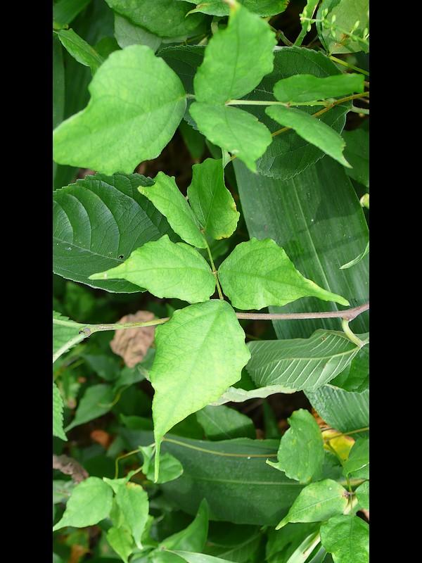 ホドイモ 葉