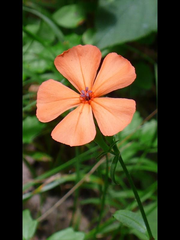 フシグロセンノウ 花。オシベの第一陣