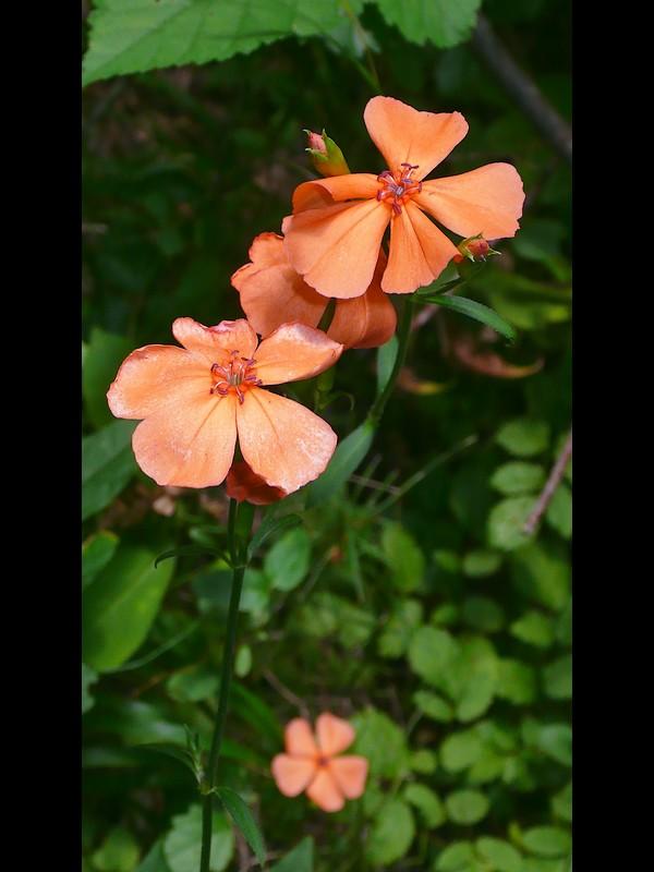 フシグロセンノウ 花。 オシベ第二陣が伸びた後