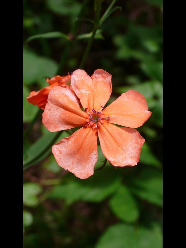 フシグロセンノウ 花。オシベの第二陣